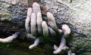 dead mans fingers fungus