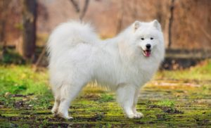 Most Expensive Dog - the Samoyed