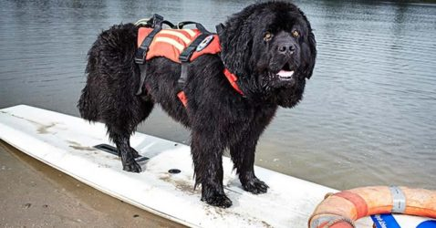 Fastest Dog To Retrieve A Person from Water