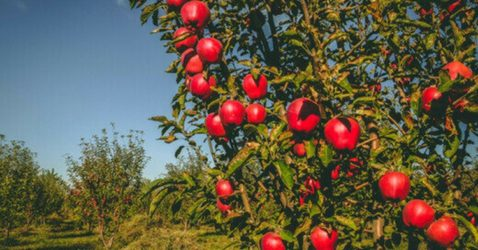 history of apples