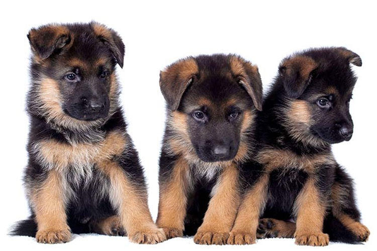 Facts About German Shepherd