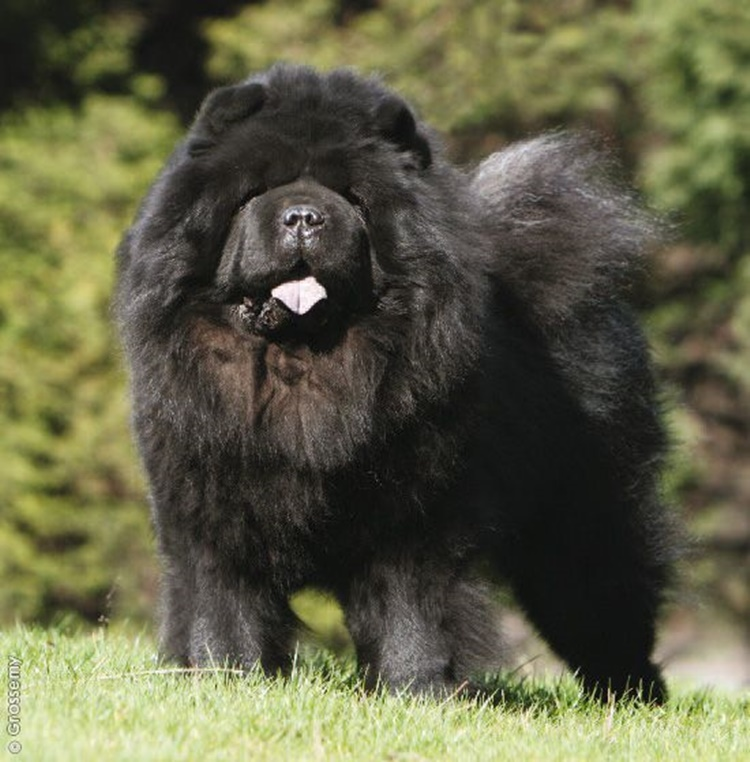 Facts about chow chow