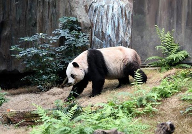 Chinese Giant Panda Jia Jia