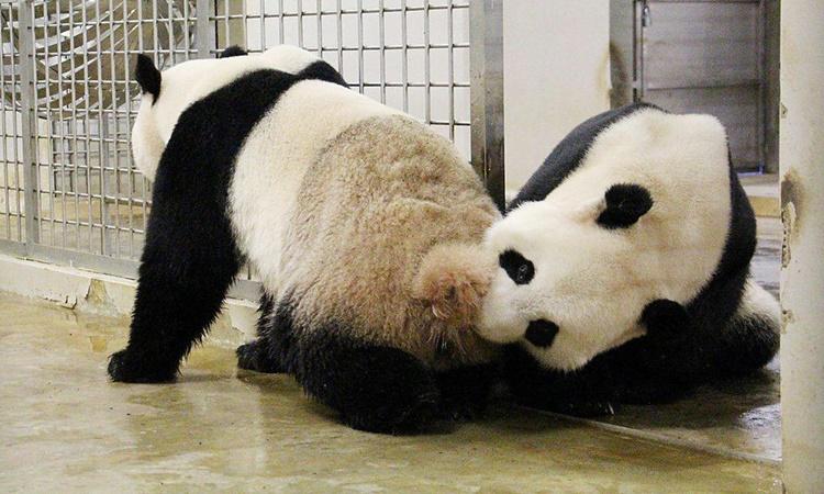 Chinese Giant Panda Jia Jia, Kai Kai
