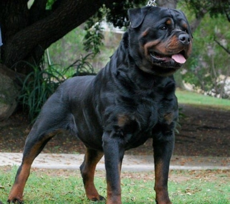 Facts About Rottweiler