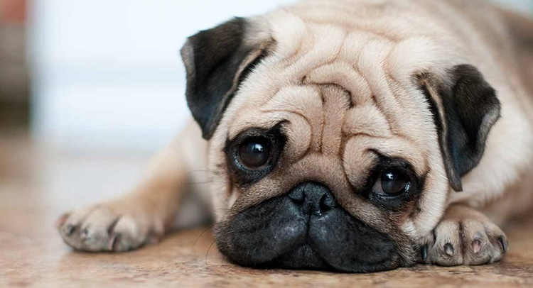 Facts about Pug